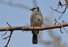 Blue Jay - Firehouse Woods - © Dick Horsey - May 13, 2016