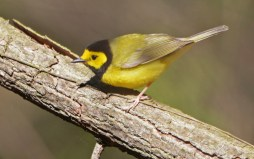 Hooded Warbler - Cobbs Hill - © Dick Horsey - May 16, 2016