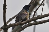 Common Grackle - Firehouse Woods - © Dick Horsey - May 17, 2016