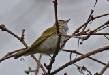 Tennessee Warbler - Firehouse Woods - © Dick Horsey - May 17, 2016
