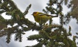 Cape May Warbler - Lakeview Church Trail - © Dick Horsey - May 17, 2016