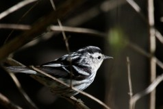 Black-and-white Warbler - Owl Woods - © Jeanne Verhulst - May 17, 2016