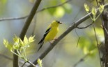 American Goldfinch - High Acres Nature Area - © Dick Horsey - May 18, 2016