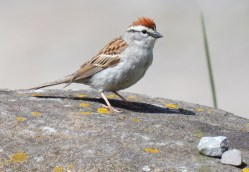 Chipping Sparrow - High Acres Nature Area - © Dick Horsey - May 18, 2016