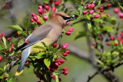 Cedar Waxwing - Lakeview Church Trail - © Jeanne Verhulst - May 18, 2016