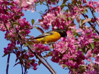 Baltimore Oriole - Webster - © Kathryn Carangelo - May 20, 2016
