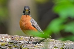 American Robin - Cobbs Hill - © Dick Horsey - May 22, 2016