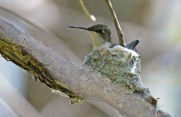 Ruby-throated Hummingbird - Firehouse Woods - © Dick Horsey - May 24, 2016