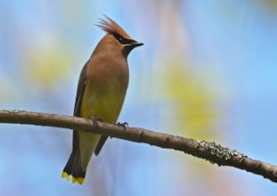 Cedar Waxwing - Lakeview Church Trail - © Dick Horsey - May 24, 2016