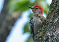 Red-bellied Woodpecker - Brighton - © Dick Horsey - May 25, 2016