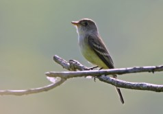 Willow Flycatcher - High Acres Nature Area - © Dick Horsey - May 28, 2016