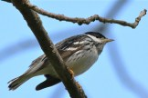 Blackpoll Warbler - Firehouse Woods - © Jeanne Verhulst - May 22, 2016