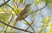 Black-billed Cuckoo - Lakeview Church Trail - © Kimberly Sucy - May 28, 2016