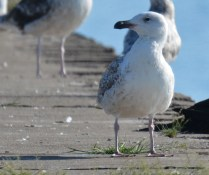 Great Black-backed Gull (1st yr) - Summerville Pier - © Dick Horsey - May 31, 2016