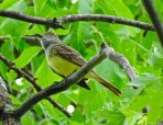 Great-crested Flycatcher - Irondequoit - © Candace Giles - Jun 02, 2016