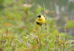 American Goldfinch - Beatty Point - © Dick Horsey - Jun 07, 2016