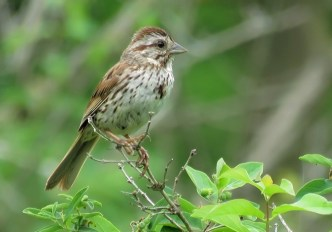 Song Sparrow - Oatka Creek Park - © Jim Adams - Jun 07, 2016