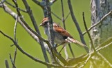 Swamp Sparrow - Brickyard Trail - © Dick Horsey - Jun 09, 2016