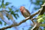 House Finch - Hamlin Beach Park - © Dick Horsey - Jun 10, 2016