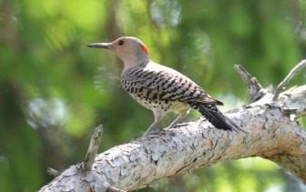 Northern Flicker - Hamlin Beach Park - © Dick Horsey - Jun 10, 2016