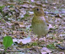 Veery - Mendon Ponds Park - © Jim Adams - Jun 12, 2016