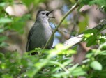 Gray Catbird - Kent Park - © Dick Horsey - June 14, 2016