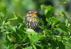Red-winged Blackbird (F) - Oatka Creek Park - © Jim Adams - Jun 14, 2016