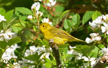 Yellow Warbler - Whiting Road Preserve - © Dick Horsey - June 15, 2016