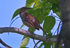 Brown Thrasher - Whiting Road Preserve - © Dick Horsey - June 15, 2016