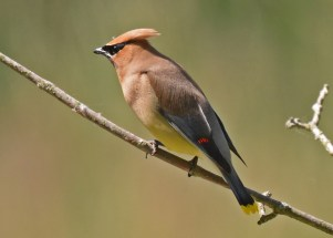 Cedar Waxwing - Whiting Road Preserve - © Dick Horsey - June 15, 2016