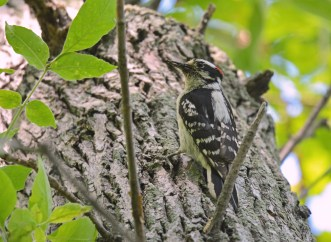 Downy Woodpecker - Braddock Bay Park - © Dick Horsey - June 17, 2016