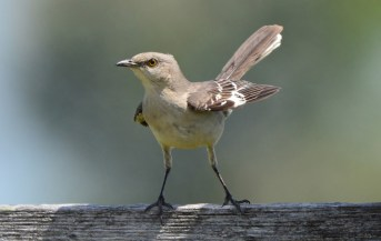Northern Mockingbird - Avon - © Nick Kachala - June 19, 2016