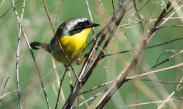 Common Yellowthroat - High Acres Nature Area - © Dick Horsey - June 21, 2016