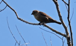Brown-headed Cowbird (F) - Mendon Ponds - © Dick Horsey - June 22, 2016