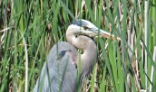 Great Blue Heron - Tinker Nature Park - © Dick Horsey - June 22, 2016