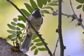 Black-capped Chickadee - Brighton - © Dick Horsey - June 24, 2016