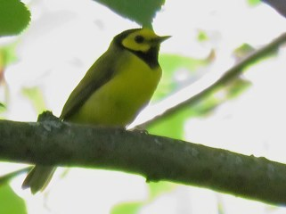 Hooded Warbler - Oatka Creek Park - © Jim Adams - June 16, 2016