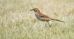 Brown Thrasher - Hamlin Beach Park - © Dana Kalir - June 27, 2016