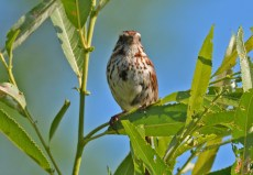 Song Sparrow - Kent Park - © Dick Horsey - June 28, 2016