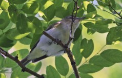 Red-eyed Vireo - Kent Park - © Dick Horsey - June 28, 2016