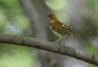 Wood Thrush (Juv) - Webster Park - © Dick Horsey - June 28, 2016