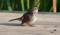 Swamp Sparrow - Braddock Bay Park - © Dick Horsey - Jul 06, 2016