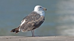 Great Black-backed Gull - Summerville Pier - © Dick Horsey - Jul 06, 2016