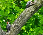 Red-bellied Woodpecker (F/Juv) - Irondequoit - © Candace Giles - Jul 13, 2016