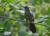 Gray Catbird - Lock 32 Park - © Dick Horsey - Jul 15, 2016