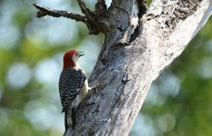 Red-bellied Woodpecker - Lock 32 Park - © Dick Horsey - Jul 15, 2016