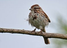 Song Sparrow - High Acres Nature Area - © Dick Horsey - Jul 16, 2016
