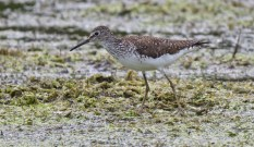 Solitary Sandpiper - High Acres Nature Area - © Dick Horsey - Jul 18, 2016