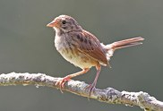 Song Sparrow (Juv) - High Acres Nature Area - © Dick Horsey - Jul 19, 2016