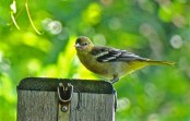 Baltimore Oriole (Juv) - Irondequoit - © Candace Giles - Jul 21, 2016